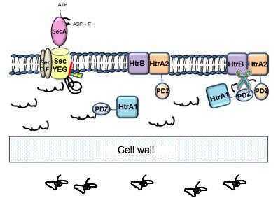 Gram Positive Bacteria Diagram | Heterologous Gene Expression And Secretion In Gram Positive Bacteria