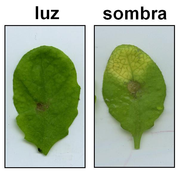 Descubren Por Que La Sombra Reduce Las Defensas De Las Plantas - Plantas-de-sombra