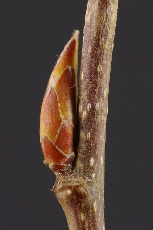 Dormant axillary bud (in savings mode) in a woody plant