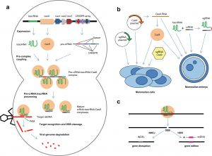 The natural bacterial CRISPR-Cas system for defence against viruses (a) and derived genome editing tools in mammalian cells (b, c).