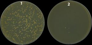 A Mycobacterium strain in which the nucS gene (1) was eliminated produces a large number of mutants resistant to the antibiotic in the Petri dish (rifampicin), while the wild-type strain (with the active nucS gene) produces many fewer mutants (2)
