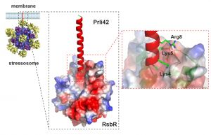 Prli42 mini-protein as anchorage of the membrane stress