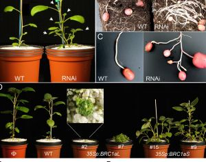 Mechanism identified by which the potato plant controls branch and runner formation