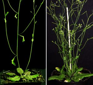 Arabidopsis thaliana with different branching patterns
