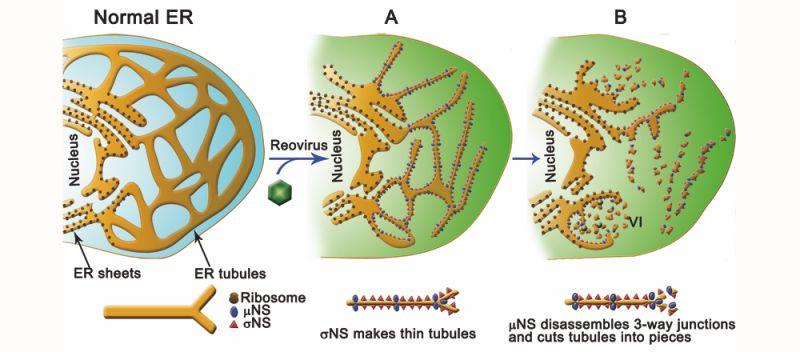 El Reovirus Humano Modifica Y Usa Las Membranas Del Retículo